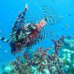 19 giftige lionfish