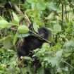 berggorilla jong etend