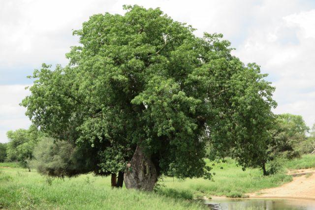 Deze boom slaat water op in zijn stam